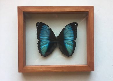 A Blue Morpho Butterfly under glass