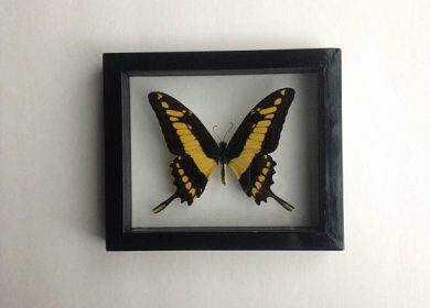 An inspiring yellow swallowtail butterfly