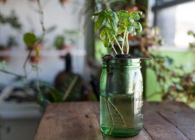 Basil in a hydroponic jar